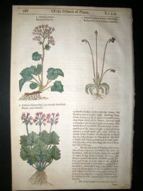 Gerards Herbal 1633 Hand Col Botanical Print. Sanicle, Butterwort
